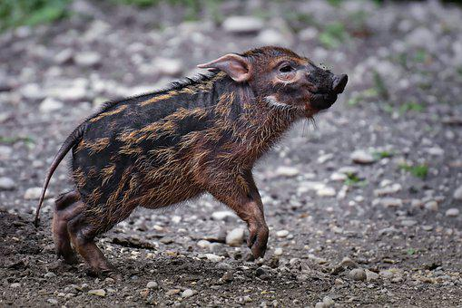 Brush Ear Pig, Potamochoerus Porcus, Young Animal