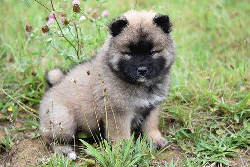 Dog, Dog Eurasier, Pup, Puppy, Eurasier, Black Mask