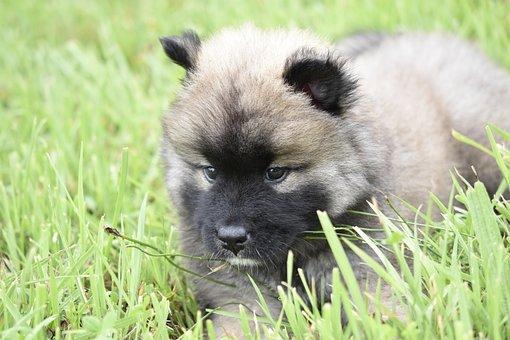 Puppy, Pup, Dog Eurasier, Small Teddy Bear