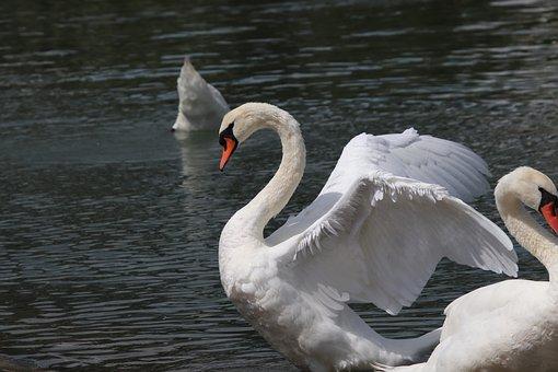Swan, Birds, Animals, Nature, River, White, Swim