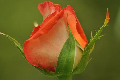 Bud, Flower, Rose, Pink, Bloom, Petals, Summer, Macro