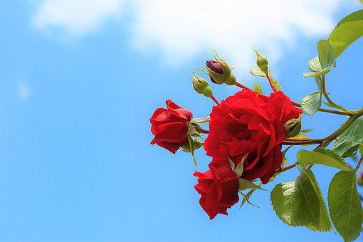 Rose, Spring, Nature, Flower, Red, Romantic, Plant