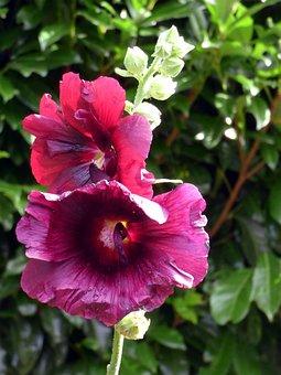 Roses, Trémières, Flower, Purple, Nature, Summer