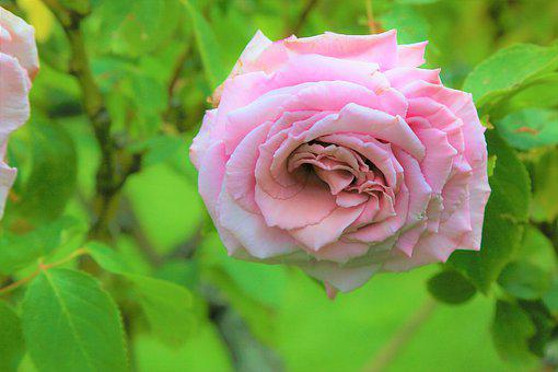 Rose, Spring, Nature, Flower, Pink, Romantic, Plant