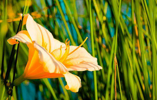 Flower, Orange, Flowers, Plants, Nature, Garden, Spring