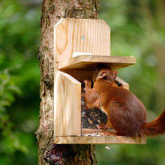 Squirrel, Sciurus Vulgaris, Mammal, Rodent, Red, Food
