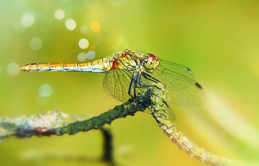 Szablak Yellow, Female, Dragonflies Różnoskrzydłe