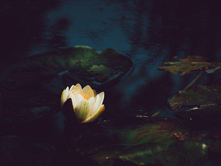 Water Lily, White, Flower, Pond, Nature