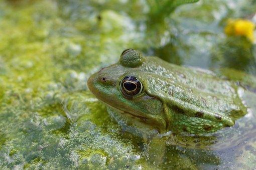 Frog, Gerardo, Nature, Pond, Water, Animals, Mare