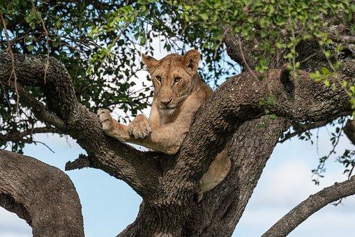Lion, Tree, Animal, Africa, Wild, Animal World