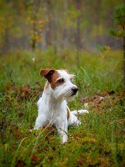 Dog, Kromfohrländer, Autumn, Swamp, Dog Breed, Pet