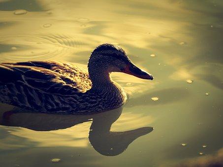 Duck, Reflections, Water, Nature, Bird, Lake, Animal