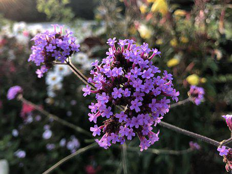 Flowers, Purple, Small, Bloom, Nature, Blossom, Plant