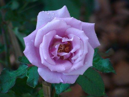 Rose, Pink, Purple, Garden, Flowers, Romantic, Blossom