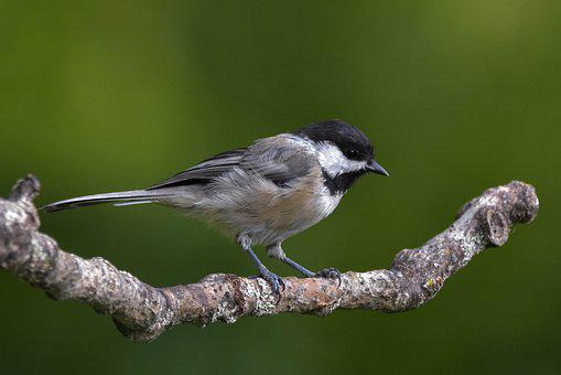 Chickadee, Black-capped Chickadee, Bird, Bokeh
