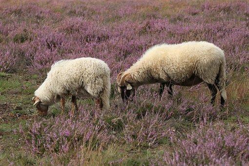 Sheep, Heide, Nature, Herd, Animals, Browser, Cattle