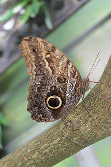 Butterfly, Owl Butterfly, Exotic, Insect, Animal World
