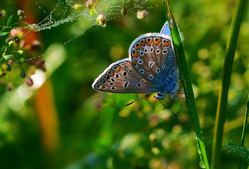 Butterfly, Common Blue, Close Up, Summer, Morning Sun