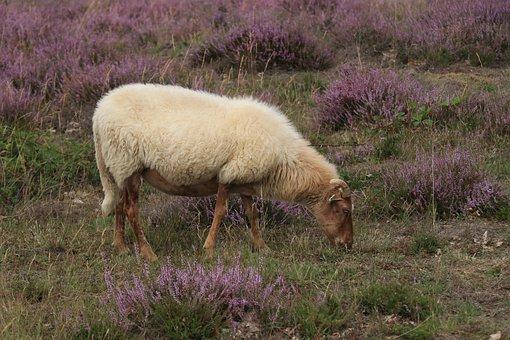 Heide, Sheep, Animals, Cattle, Browser, Nature, Fauna