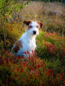Dog, Kromfohrländer, Dog Breed, Companion Dog, Pet