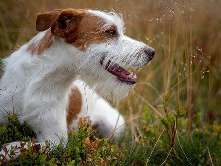 Dog, Kromfohrländer, Dog Breed, Pet, Companion Dog