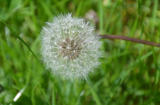 Dandelion, Nature, Seeds, Close Up, Pointed Flower