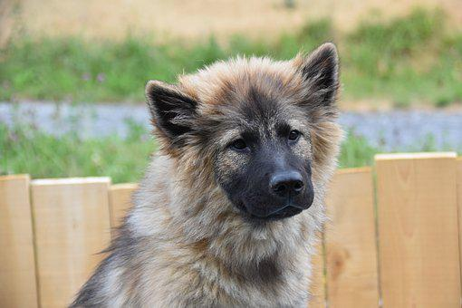 Dog, Pup, Dog Eurasier, Bitch Plinn-blue