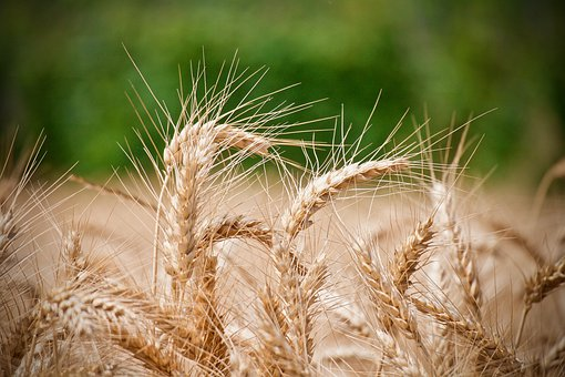Wheat, Ears Of Wheat, Agriculture, Cereals, Summer