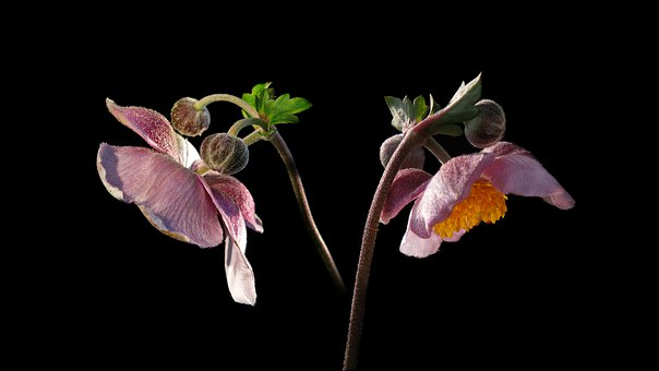 Fall Anemone, Flowers, White, Pink, Soft Pink
