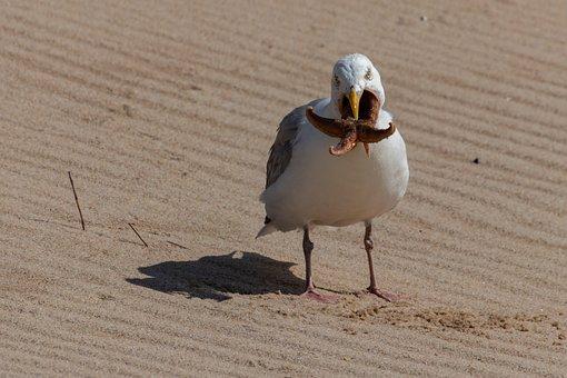 Seagull, Starfish, Beach, Sylt, Bird, Nature, Eat, Fang