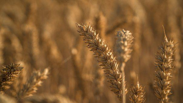 Spikes, Wheat, Agriculture, Harvest, Cereals, Field