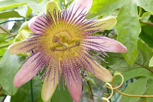 Passion Flower, Passifloraceae, Flora