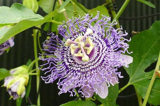 Passion Flower, Passifloraceae, Flora, Flower, Plant