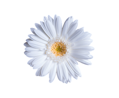 Flower, Gerbera, Isolated, Transparent, White, Floral