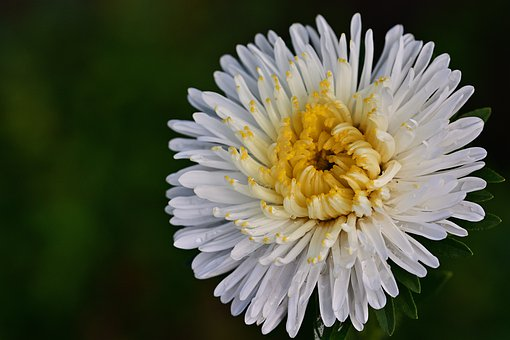 Aster, Flower, Blossom, Bloom, Summer, Flower Garden