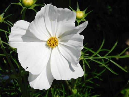 Cosmos, Flower, White, Plant, Summer, Bloom, Garden
