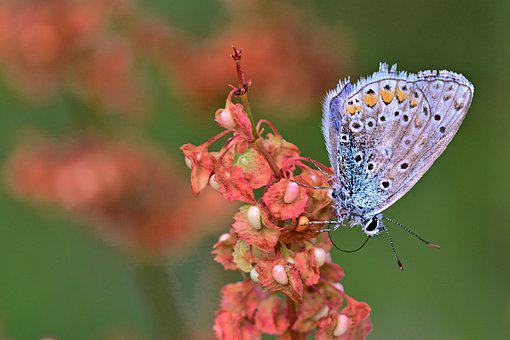 Butterfly, Common Blue, Close Up, Summer, Heat, Morning