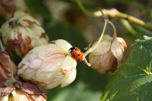 Hops, Beetle, Ladybug, Flower, Insect, Red, Nature