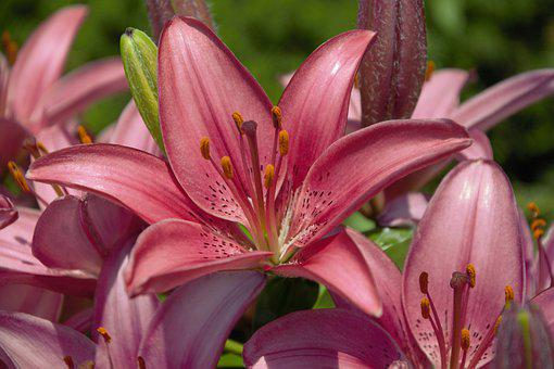 Flowers, Hybrid Lily, Pink, Closeup, Colorful