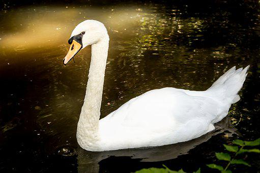 Swan, Lake, Water, Nature, Waters, Swim, Animal