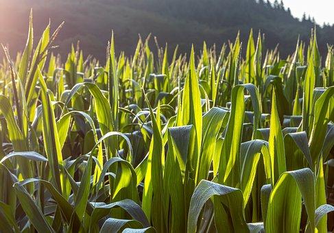 Cornfield, Nature, Landscape, Morning, Sunrise, Fresh