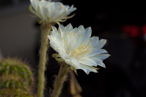 Flower, White, Cantus, Bloom, The Tropics, Leaves