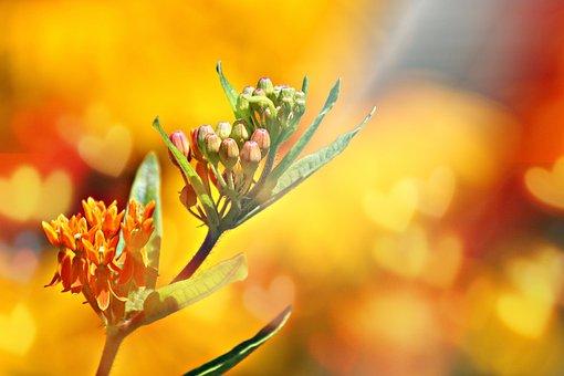 Orange Milkweed, Hearts, Lighting, Bokeh, Light, Nature