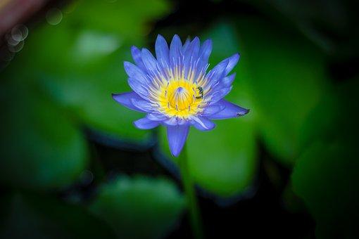 Lotus, Water Plants, Flower Bo, Flowers, Lily
