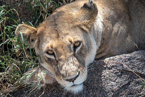 Lion, Africa, Safari, Predator, Animal World, Cat
