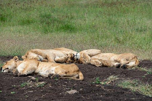 Lion, Africa, Safari, Predator, Animal World