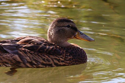 Mallard, Water, Duck, Female, Floats, Swim, Bird