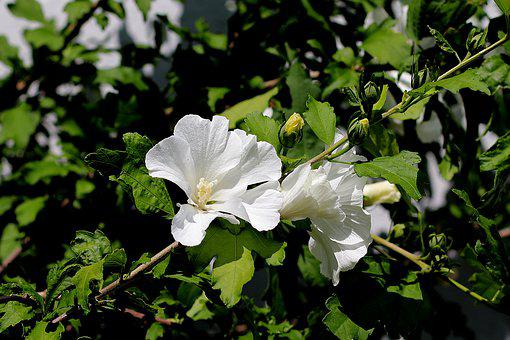Hibiscus, Blossom, Bloom, Hibiscus Flower, Mallow