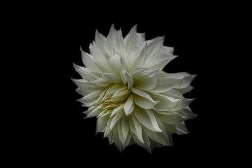Dahlia, Nature, Blossom, Bloom, Flower, Flora, Plant