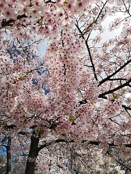 Cherry Blossoms, Pink Flowers, Pink, Spring, Nature